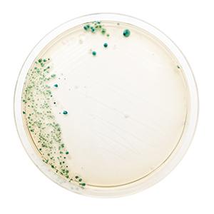 bacteria-culture